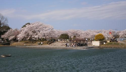2015.4.2 桜.JPG