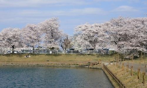 2015.4.2 桜 (1).JPG