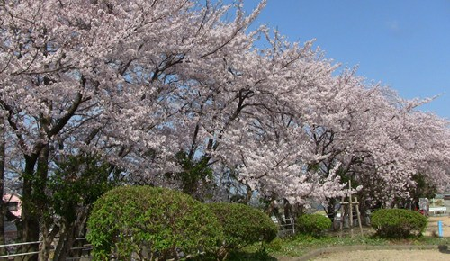 2015.4.2 桜 (2).JPG