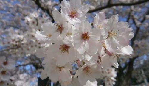 2015.4.2 桜 (3).JPG