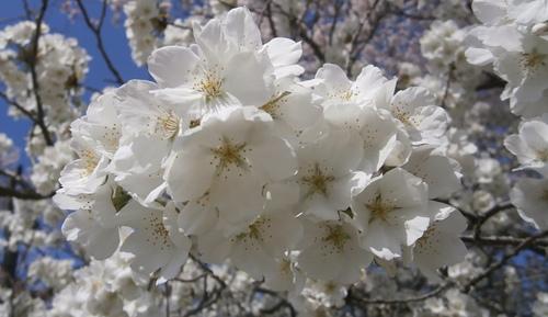 2015.4.2 桜 (4).JPG