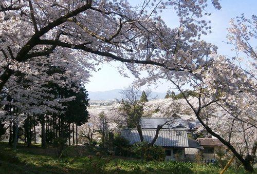 2015.4.2 桜 (6).JPG